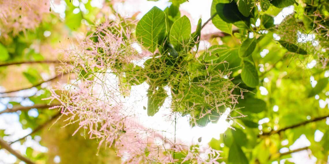 okaliptüs ağacı özellikleri