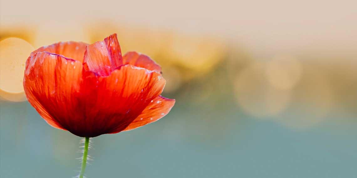 gelincik çiçeği bakımı nasıl olur