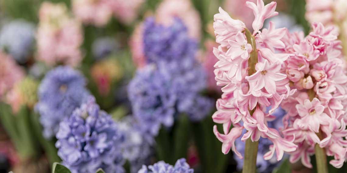 sümbül çiçeğinin faydaları nelerdir